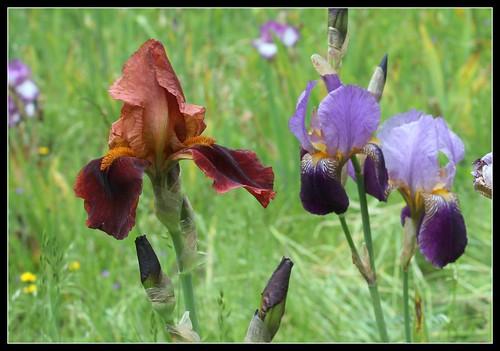 Iris 'Natchez Trace' - Wills 1969 27407277261_6481a7cd53