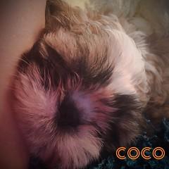 Coco Le shihtzu
