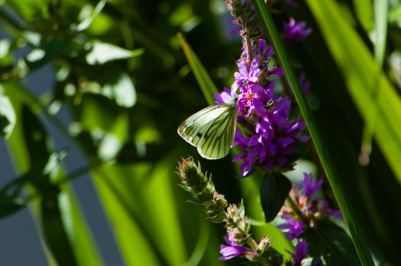 Green-veined white on purple loosestrife