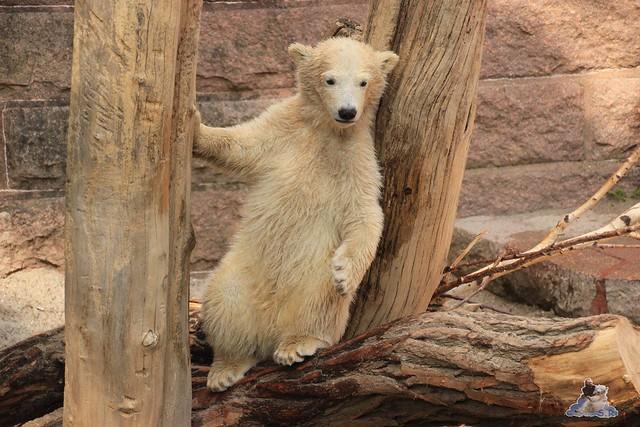 Eisbär Fiete im Zoo Rostock 04.05.2015 309
