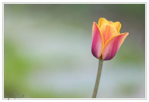 flower canon eos spring dof bokeh connecticut ct tulip torrington mfd coepark 5diii