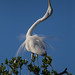 Great Egret Displaying by Michael Pancier Photography