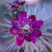 Flowering Cholla