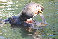 Hippopotamus at Adelaide Zoo