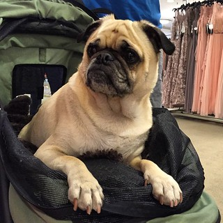 Puppy on patrol! Met Tank inside the formal gowns department at Macy's in #SanDiego Fashion Valley #dogstagram