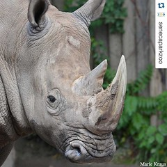 #Repost @senecaparkzoo・・・Just three weeks from today, we'll be celebrating Bill and his wild relatives at #CincodeRhino with food, beer and wine tastings, activities, prizes and more. Get tickets (at the advance price) at http://ift.tt/23s9GRR #teamrhino