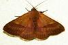 Moth (Panopoda rigida)
