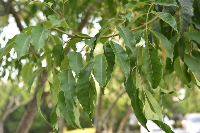 木犀科 Fraxinus griffithii C. B. Clarke, 1882 光蠟樹 20150503 豐村國小 08