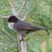 Toutinegra dos valados, Sardinian Warbler(Sylvia melanocephala) - em Liberdade [in wild] by xanirish