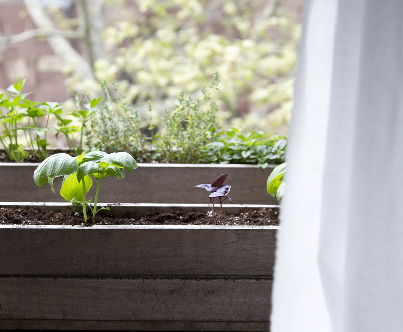 tiny garden: city herbs