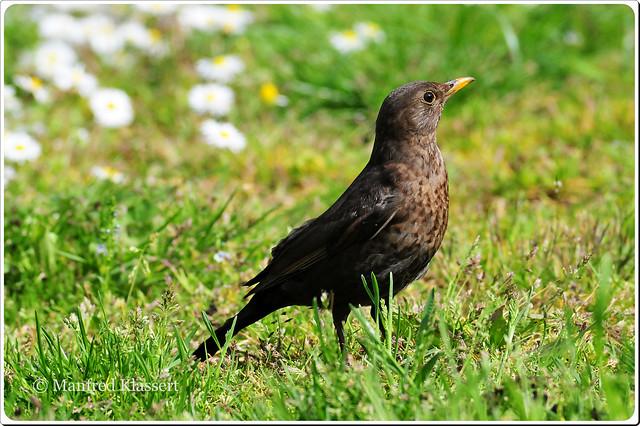 Blackbird, Common Blackbird, Eurasian Blackbird, Turdus merula, Mirlo Común, Amsel, kuroutadori, Kuro-utadori, Merle noir, Melro-preto, 乌鸫, female,