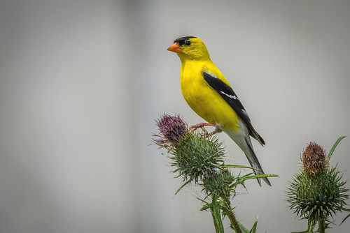 summer bird philadelphia nature yellow us nikon unitedstates pennsylvania wildlife thistle goldfinch seed songbird pennypack d800e