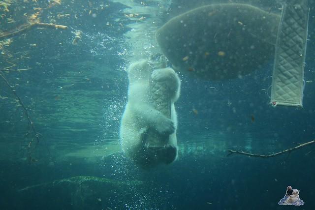 Eisbär Lili im Zoo am Meer Bremerhaven 14.05.2016 Teil 2 067