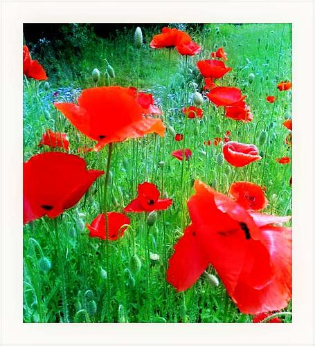 flower garden spring ukraine мак