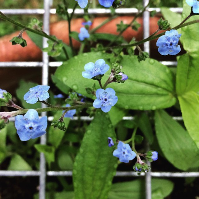 Forget me nots and Zinnias with Dew #flowers #zinnias #forgetmenots #gardens #patiogarden #morning