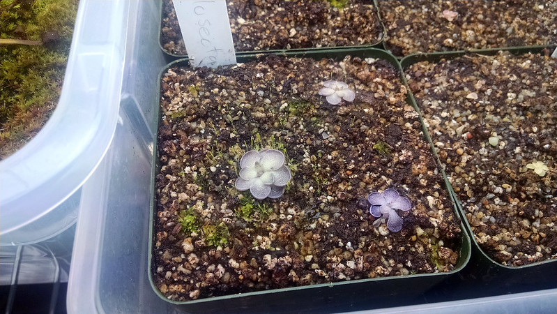 Pinguicula cyclosecta.
