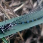 díszes légivadász - Coenagrion ornatum