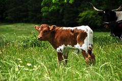 texas longhorn(0.0), bull(0.0), dairy cow(0.0), cattle-like mammal(1.0), animal(1.0), prairie(1.0), agriculture(1.0), farm(1.0), field(1.0), grass(1.0), mammal(1.0), grazing(1.0), fauna(1.0), natural environment(1.0), meadow(1.0), cattle(1.0), calf(1.0), pasture(1.0), rural area(1.0), grassland(1.0),