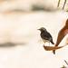 Doug Gochfeld has added a photo to the pool:Cyprus Wheatear. KM 20 Plantation, Eilat, Israel. 03/17/15.ebird.org/ebird/view/checklist?subID=S22394667