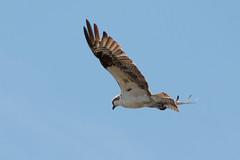 IMG_5747.jpg Osprey, Harkins Slough