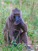 baboon with hand on mouth-Edit.jpg