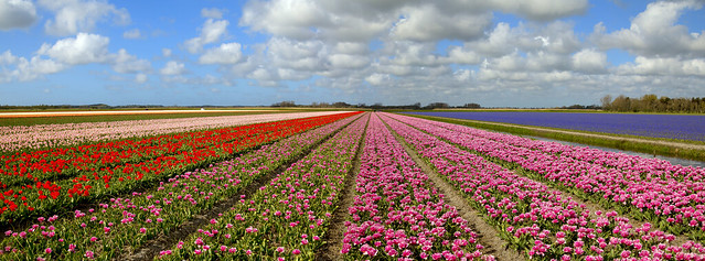 Panorama of tulip fields,  the Netherlands