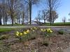 daffodils bridge spring 2016