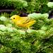 Yellow Warbler, Merrymeeting Road, Ferryland