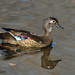 Canard branchu ♀ / Wood Duck