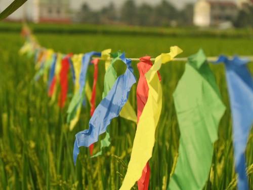 田裡掛起彩帶彩色旗,趕走吃榖的小鳥。攝影:李慧宜