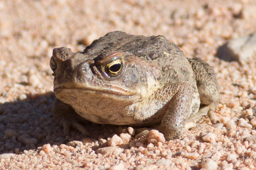 Cane Toad, i think.