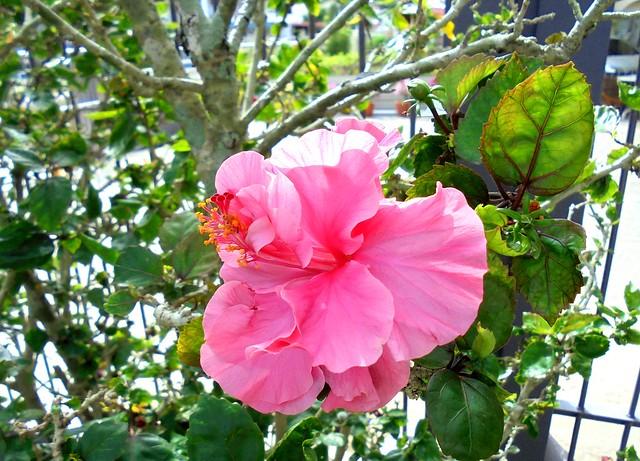 Pink hibiscus 1