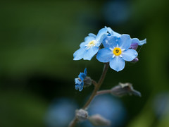 flower, nature, macro photography, wildflower, flora, green, forget-me-not, close-up, plant stem, blue, petal,