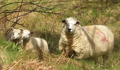 Watchful ewe and her lambs