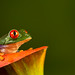 Red eyed tree frog by Larry D James back & catching up!