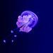 Méduse (Phyllorhiza punctata)