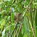 Small photo of Reed Warbler. Acrocephalus scirpaceus