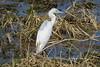 Little Blue Heron (Egretta caerulea)(Juvenile) by Gerald (Wayne) Prout