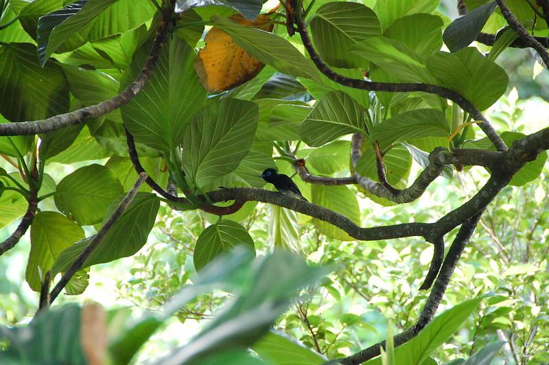 黑綬帶鳥 2008蘭嶼
