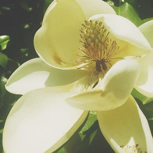 #spring #magnolia #tree #Alabama