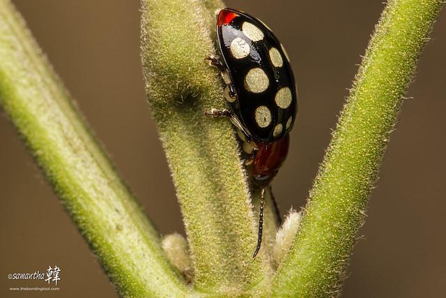 Pulau Ubin Ladybug