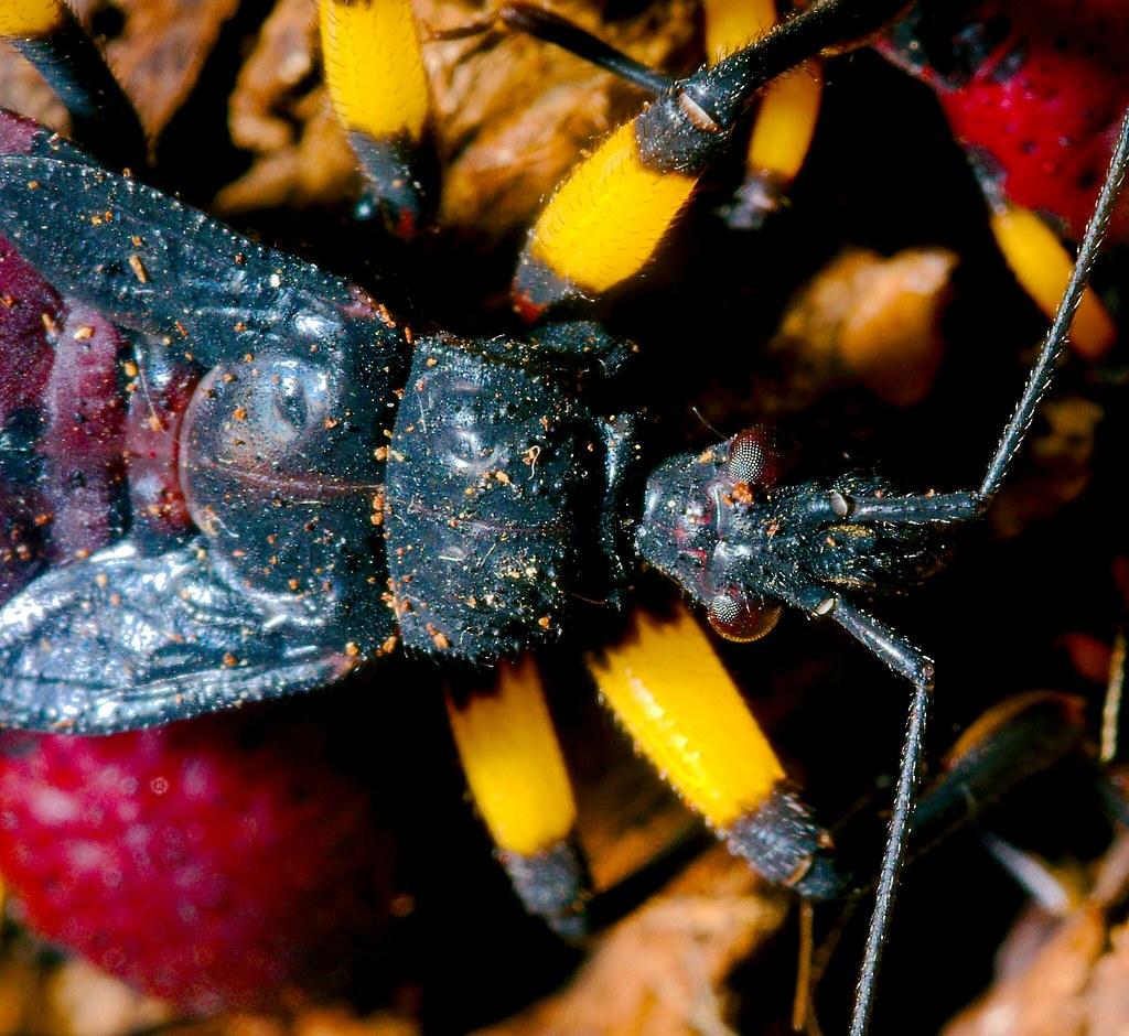 African Assassin Bug (platymeris biguttata)_1