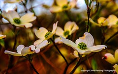 A Branch of Dogwood