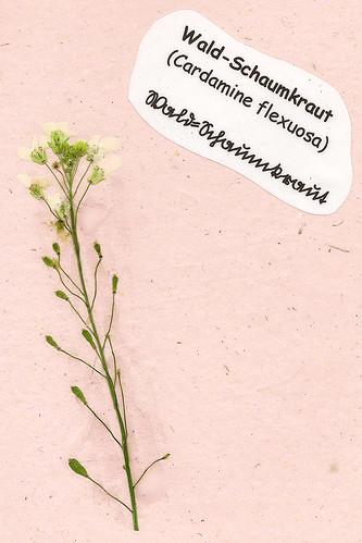 Herbarium gepresste Pflanzen Mannheim Pfalz Odenwald Wald-Schaumkraut Cardamine flexuosa
