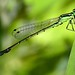 mite infested Eastern Forktail Damselfly (♂) by nikomelos