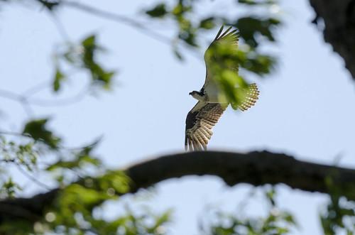 water birds maryland telephoto waterfowl osprey wildbirds leonardtownmd bretonbay