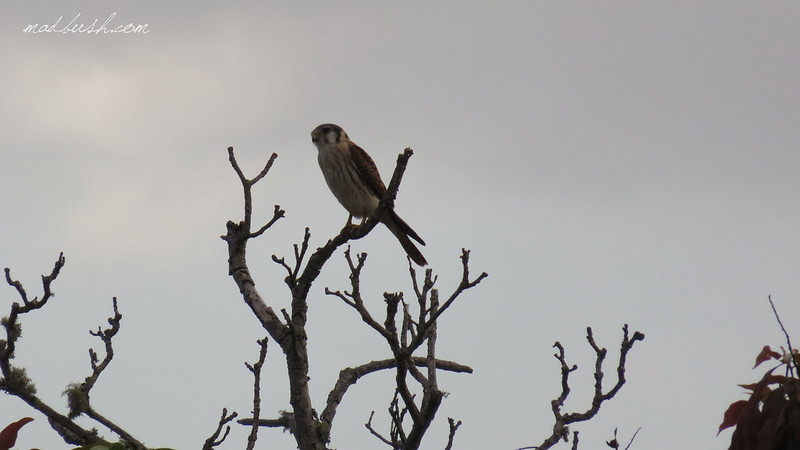 American Kestrel (Falco Sparverius Paulus) in Blue Mountains, in Ortodox Rastafarian village