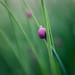 Shy Chive by lisastein92