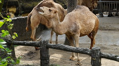 animal, mammal, fauna, camel, arabian camel, wildlife,