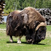 Muskox - Photo (c) Jean-Pierre Bluteau, some rights reserved (CC BY-NC)